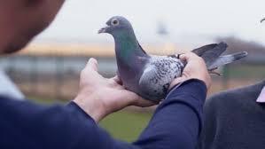Závodné holuby môže jeho majiteľ